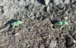 Как правильно сеять огурцы в грунт