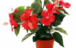 Правильно посадить китайскую розу отростком