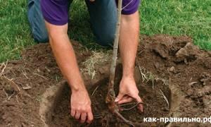 Як правильно посадити дерево