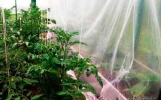 Правильная высадка рассады помидор в теплицу